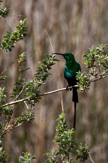 Male Malachite Sunbird, Ceres, South Africa