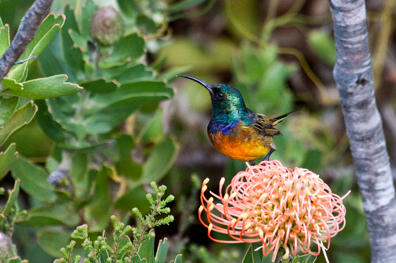 Orange-breasted Sunbird, Fernkloof Nature Reserve, Hermanus, South Africa