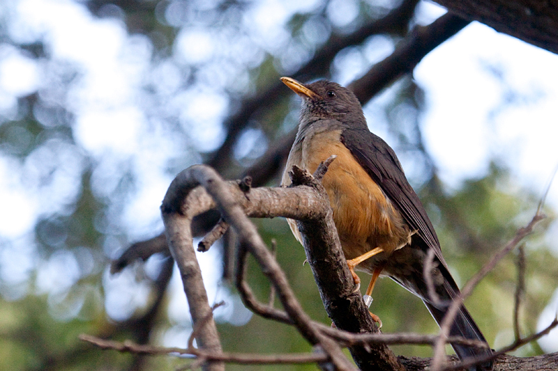 Olive Thrush, Fernkloof Nature Reserve, Hermanus, South Africa