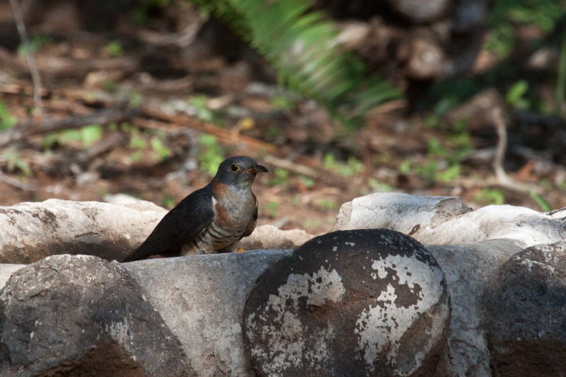 Red-chested Cuckoo, Mkuze Game Reserve, South Africa