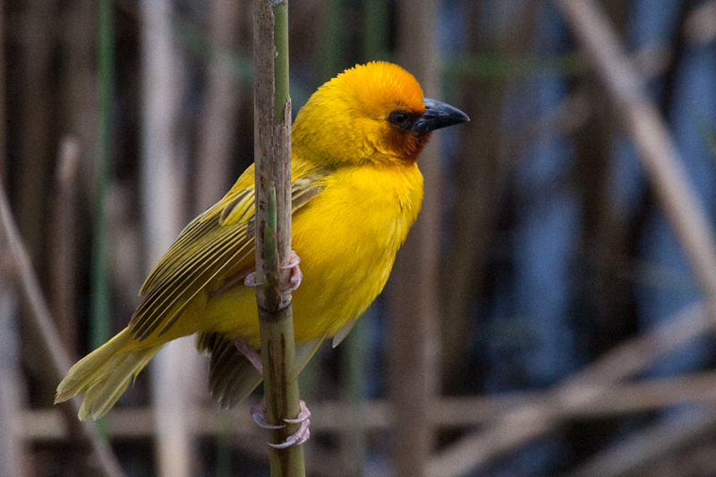 Southern Brown-throated Weaver, en route St. Lucia to Mkuze, KwaZulu-Natal, South Africa