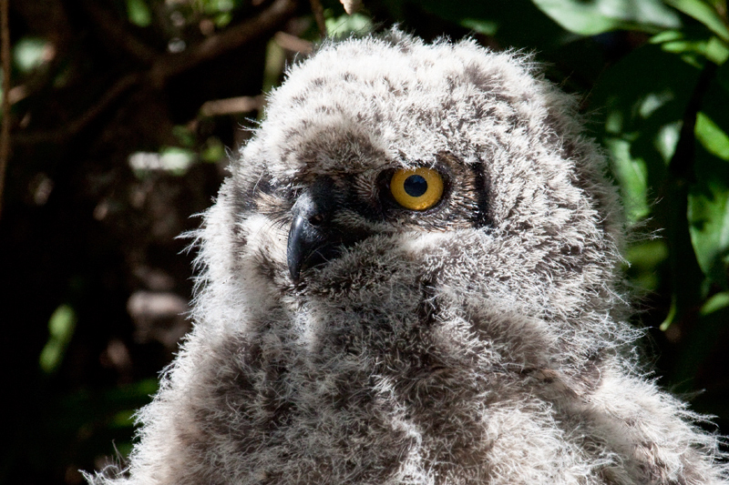 Juvenile Spotted Eagle-Owl, Kirstenbosch National Botanical Garden, Cape Town, South Africa
