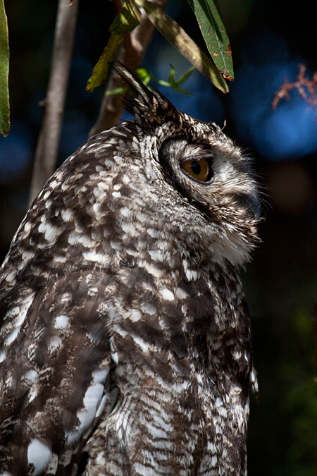 Adult Spotted Eagle-Owl, Kirstenbosch National Botanical Garden, Cape Town, South Africa