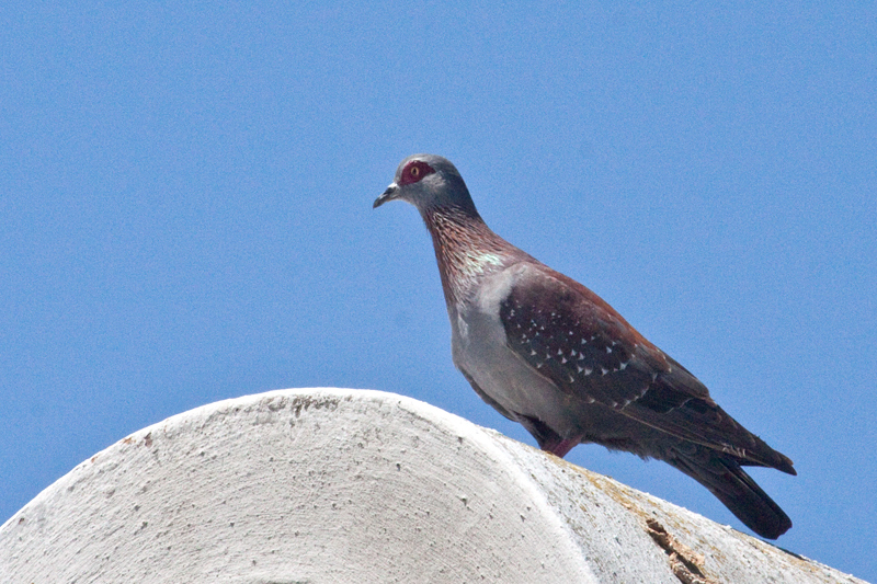 Speckled Pigeon, West Cape National Park, South Africa