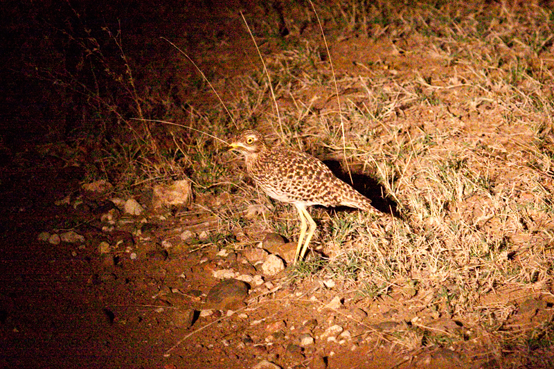 Spotted Thick-knee, Night Drive out of Olifant's Rest Camp, Kruger National Park, South Africa