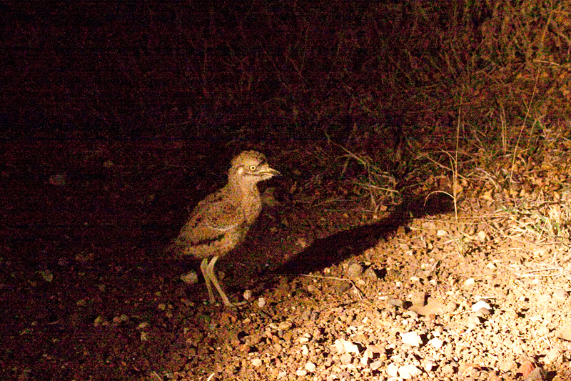 Juvenile Spotted Thick-knee, Night Drive out of Olifant's Rest Camp, Kruger National Park, South Africa