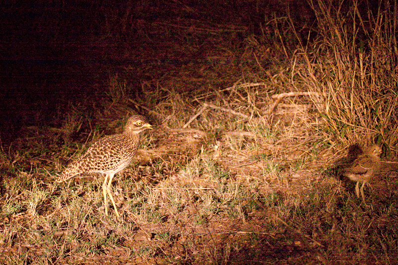 Spotted Thick-knee With Juvenile, Night Drive out of Olifant's Rest Camp, Kruger National Park, South Africa