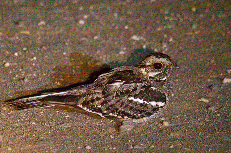 Square-tailed Nightjar (Mozambique Nightjar), Night Drive out of Satara Rest Camp, Kruger National Park, South Africa