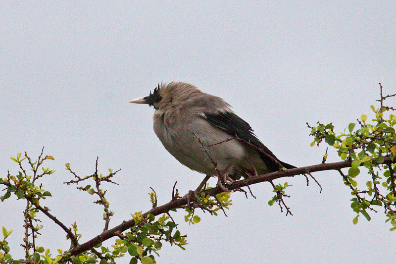 Wattled Starling, Morning Drive out of Satara Rest Camp, Kruger National Park, South Africa