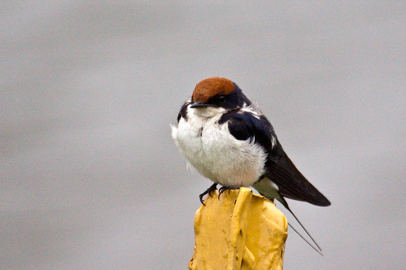 Wire-tailed Swallow, Skukuza Golf Course, Kruger National Park, South Africa