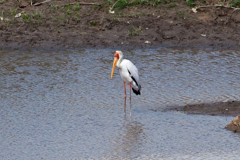 Yellow-billed Stork, Letaba Rest Camp, Kruger National Park, South Africa