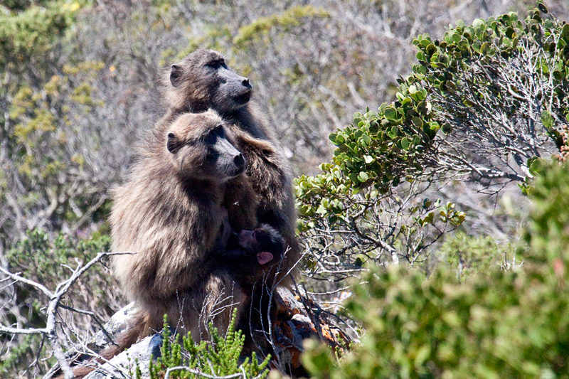 Chacma Baboon, Cape Point, Table Mountain National Park, South Africa