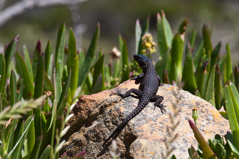 Black Girdled Lizard, Cape Point, Table Mountain National Park, South Africa