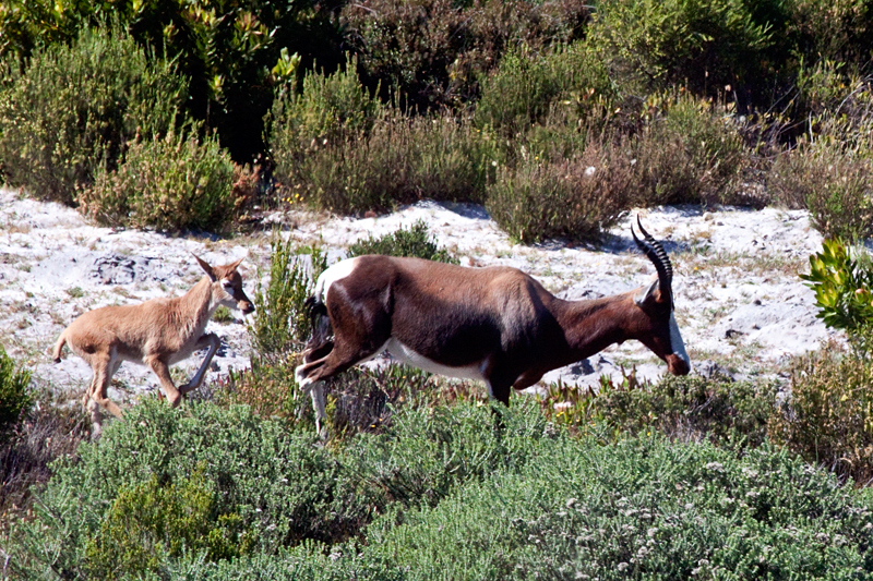 Bontebok, Cape Point, Table Mountain National Park, South Africa