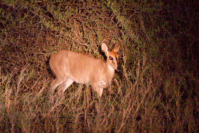 Common Duiker, Night Drive out of Satara Rest Camp, Kruger National Park, South Africa