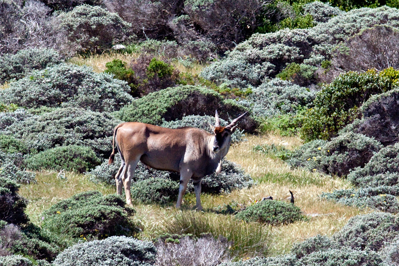 Common Eland, Cape Point, Table Mountain National Park, South Africa