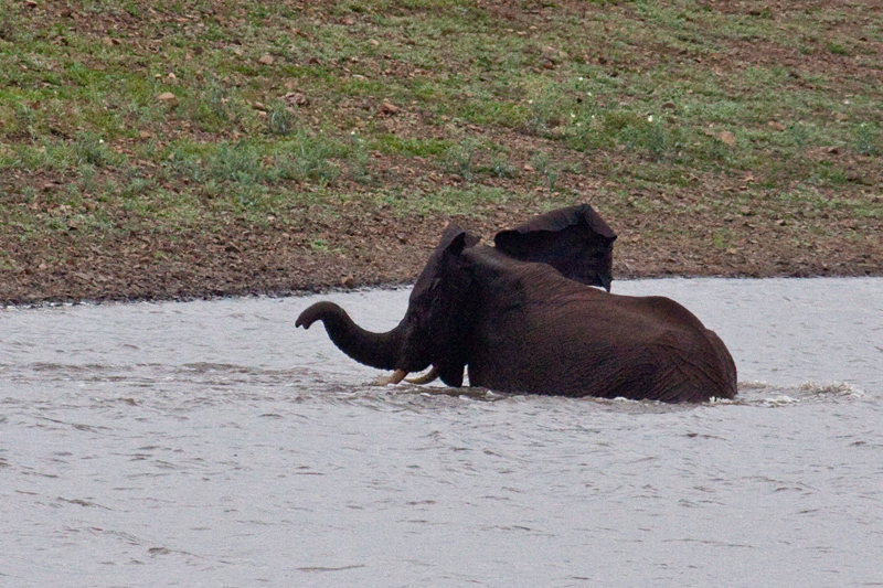 African Elephant Bathing, En Route Olifant's to Satara Rest Camp, Kruger National Park, South Africa