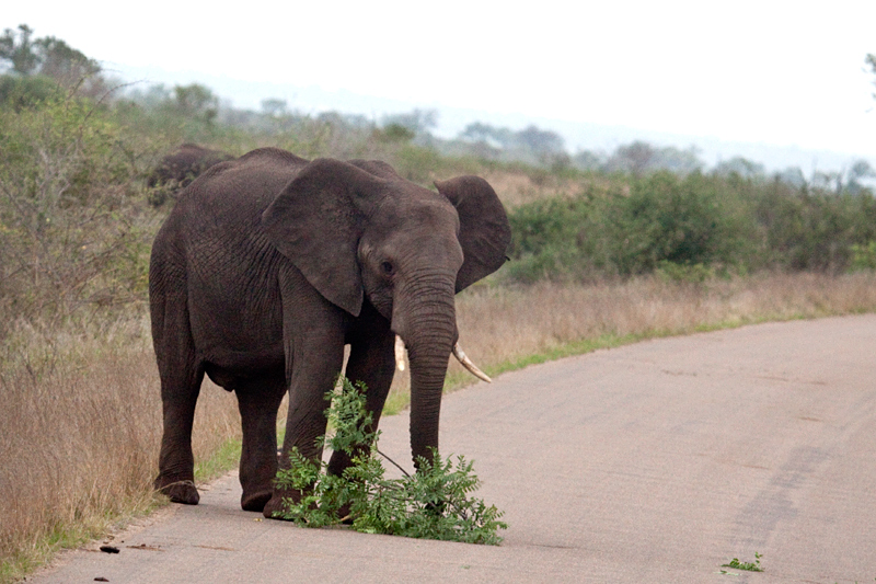African Elephants on the Road Between Olifant's and Satara Rest Camps, Kruger National Park, South Africa