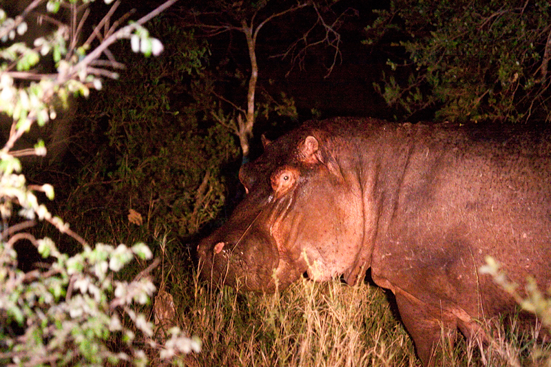 Hippopotamus, Night Drive out of Satara Rest Camp, Kruger National Park, South Africa