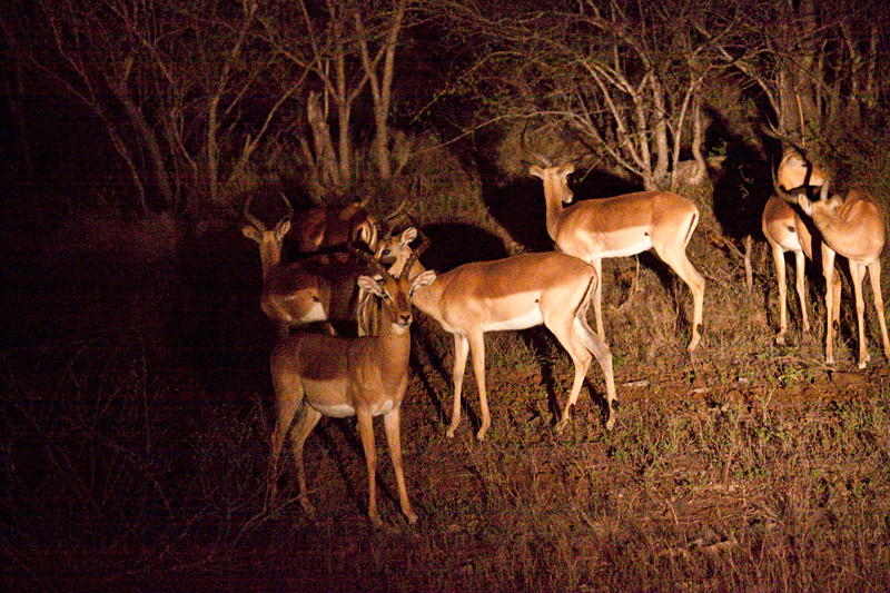 Impala, Night Drive out of Olifant's Rest Camp, Kruger National Park, South Africa