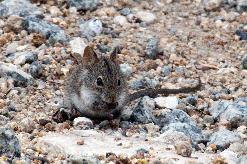 Striped Mouse, West Cape Wetlands, South Africa