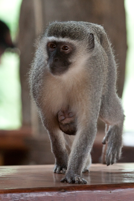 Vervet Monkey With Baby, Tshokwane Picnic Site, Kruger National Park, South Africa